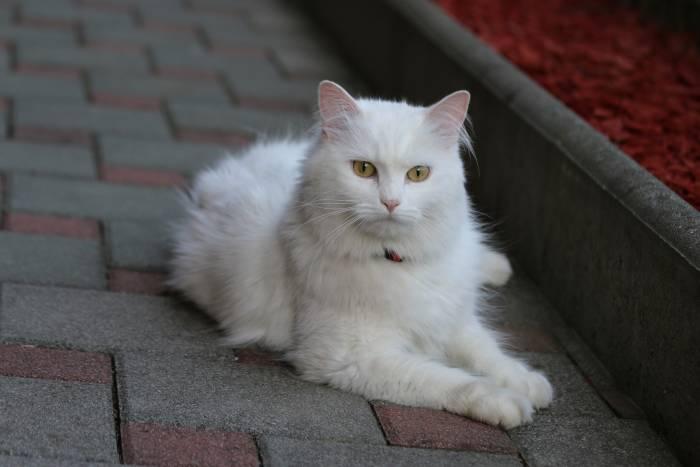 Kucing Turkish Angora