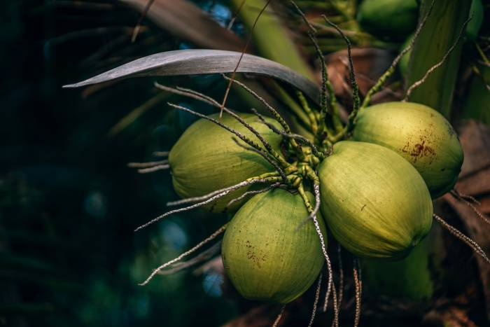 air kelapa obat mual ibu hamil
