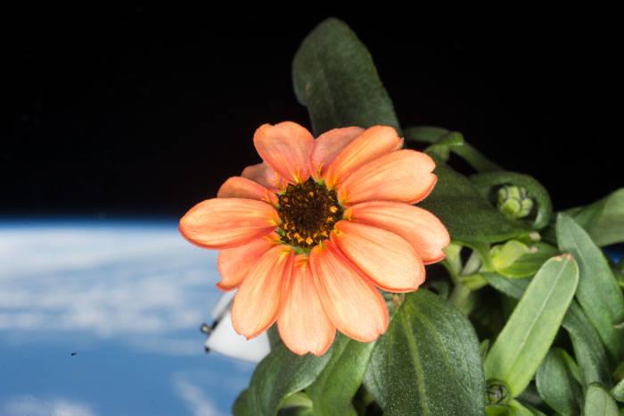Bunga Zinnia yang Berhasil Mekar di Luar Angkasa.