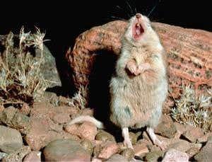 Tikus belalang yang melolong seperti serigala.