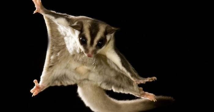 Fakta Menarik Sugar Glider, Si Tukang Lompat yang Harganya Jutaan