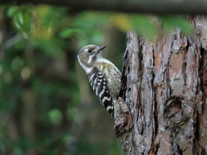 Mengapa Burung Pelatuk Hobi Mematuk Pohon Dengan Paruhnya Indozone Id