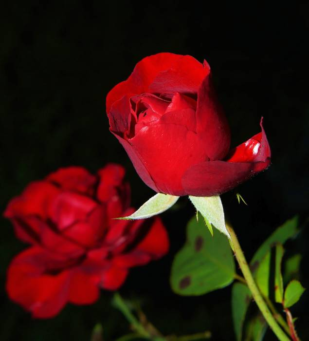 air bunga mawar