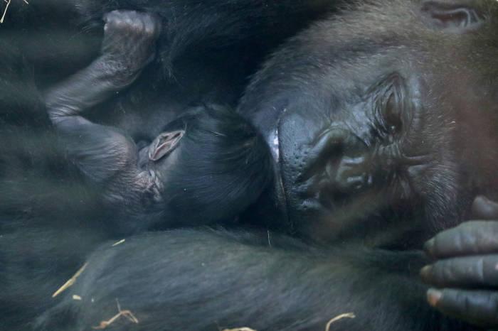 bayi gorila, gorila, bayi gorila di kebun binatang, Mambele, gorila mambele, kebun binatang Antwerp, Belgia
