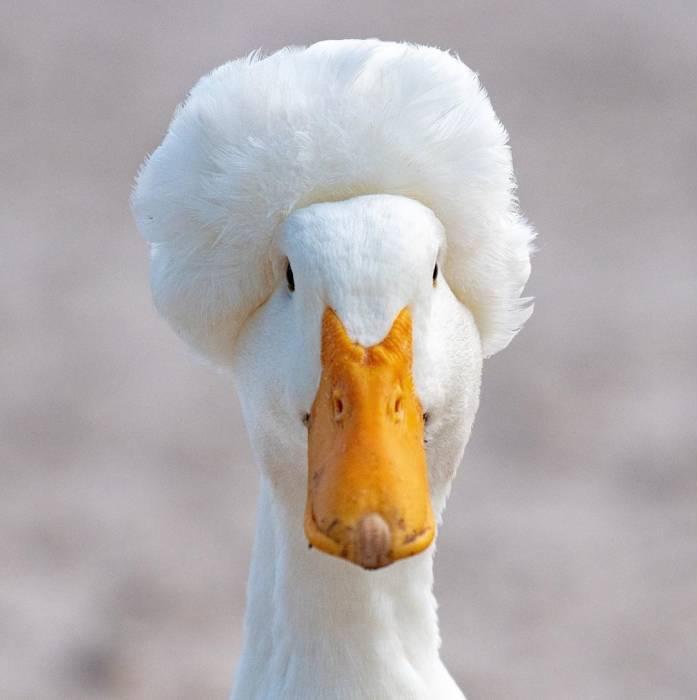 Crested duck atau bebek berjambul.