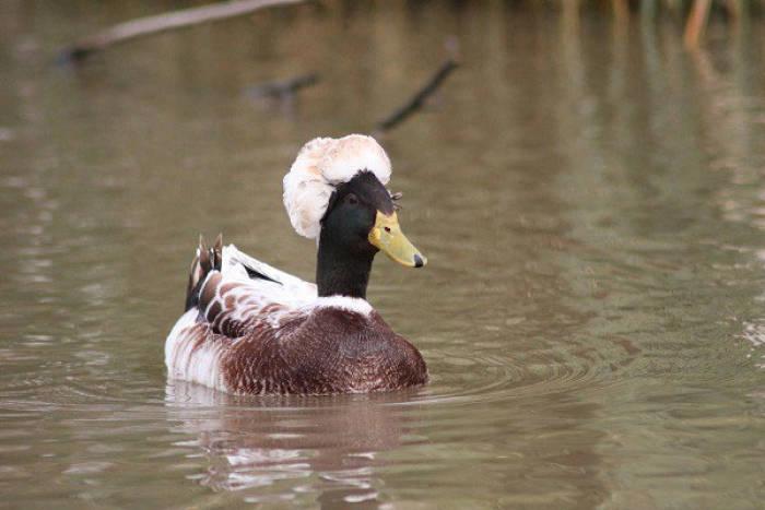 bebek berjambul, crested duck, bebek rambut acak-acakan