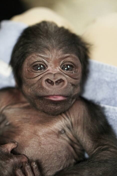 Bayi gorila dataran rendah barat jantan diperiksa