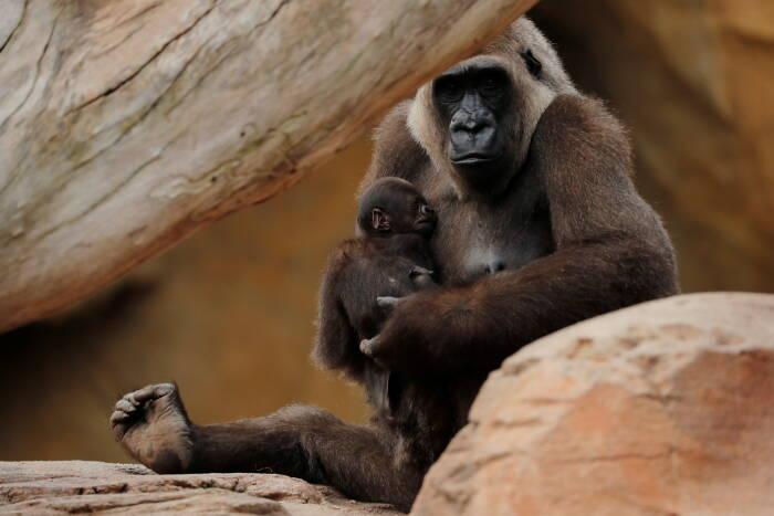 Seekor bayi gorila dataran rendah Barat jantan berusia lima hari terlihat saat digendong oleh ibunya, Buu