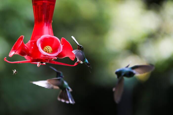 Burung kolibri Glowing Puffleg mendarat di pengumpan plastik dengan air gula