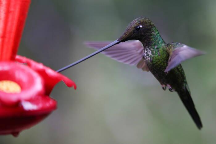 Seekor ensifera ensifera atau burung kolibri berparuh pedang